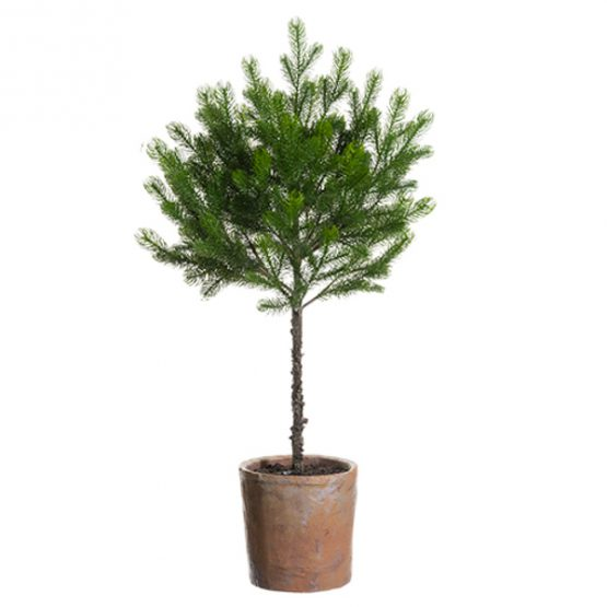 Green Spruce Pine Topiary in Clay Pot