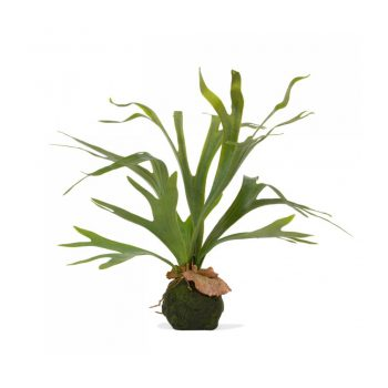 staghorn fern plant on soil ball base